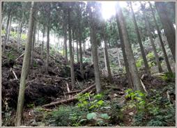 間伐後の杉林(須美江山林)