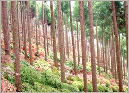 枝打後の杉林(須美江山林)